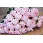 Розовые пионы поштучно от 7 штук